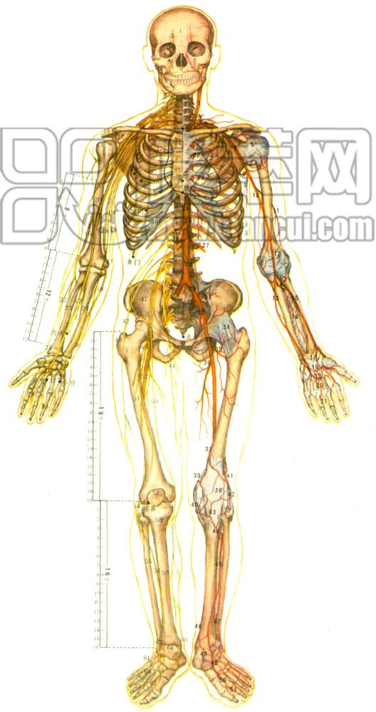 全身神经结构图