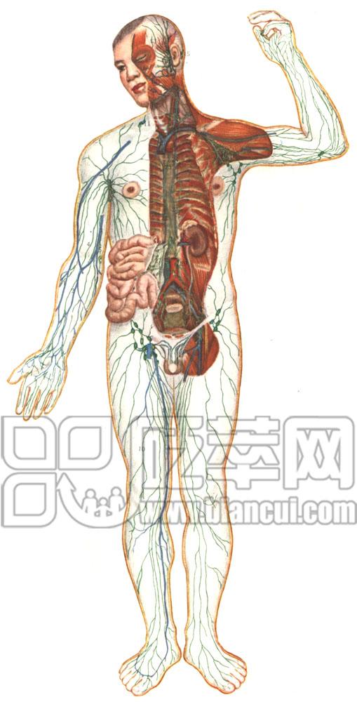 腹股沟浅淋巴结,位于腹股沟韧带下方和大隐静脉上端附近,接受大隐静脉